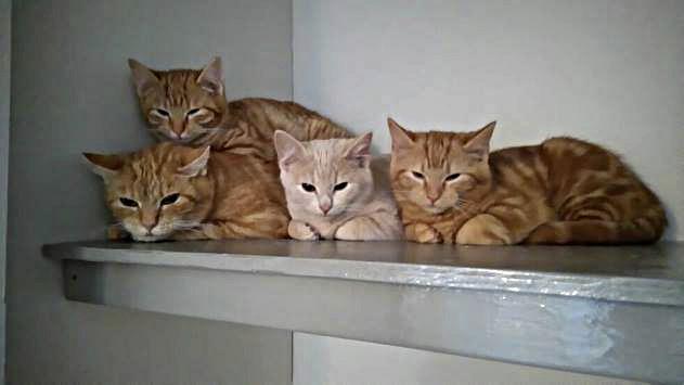 kastrering av katt